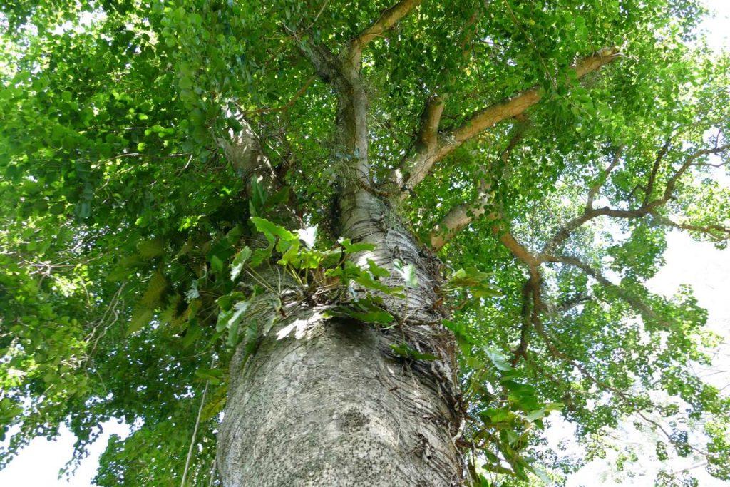 Brésil. Rio de Janeiro. Jardin botanique. Açacu ou Hura crepitans.
