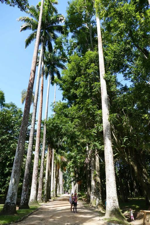 Brésil. Rio de Janeiro. Jardin botanique. Tous les palmiers impériaux descendent des graines d'un même arbre, qu'on appelle ici la Palma Mater.