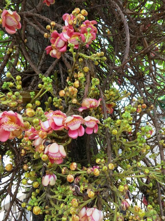 Brésil. Rio de Janeiro. Fleurs de Couroupita guianensis.