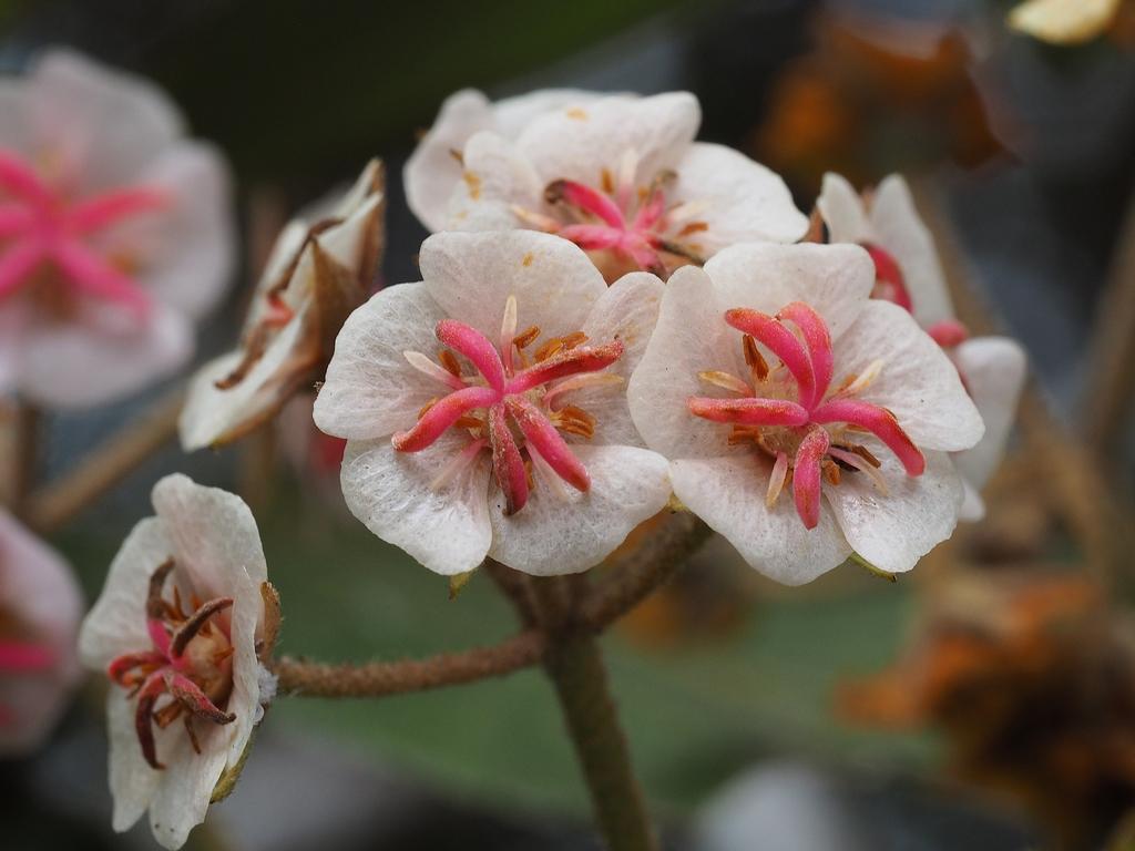 La Réunion. Fleurs de Dombeya ficulnea ou Mahot (famille des malvacées). Ce petit arbre des forêts humides fleurit d'avril à septembre.
