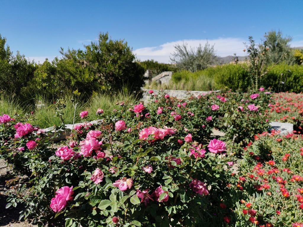 Oman. Massif de roses de Damas à l'Anantara Al Jabal Al Akhdar.
