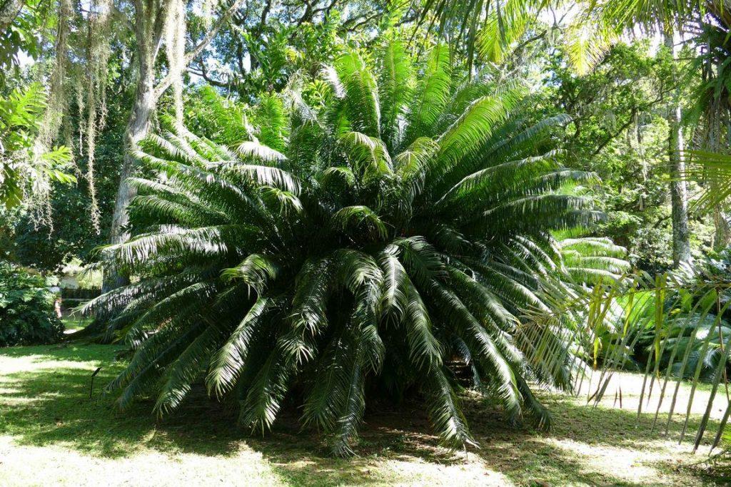 Brésil. Rio de Janeiro. Jardin botanique. Parmi les arbustes que l'on peut admirer dans le parc, le Cycas circinalis que l'on appelle ici Palmeira samambaia (famille des Cycadaceae), est natif d'Inde. On le trouve aussi aux Philippines, à Sumatra, Java, et Madagascar.