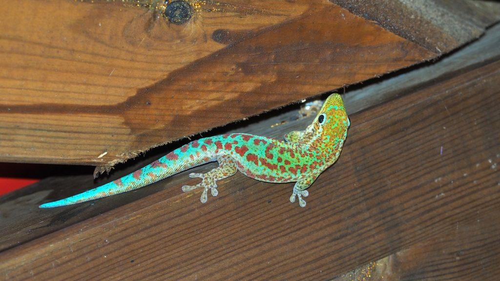 La Réunion. Phelsume de Bourbon (Phelsuma borbonica). Le gecko vert des Hauts vit dans certains arbres  des forêts humides mais on le retrouve aussi  sous les toitures des maisons.