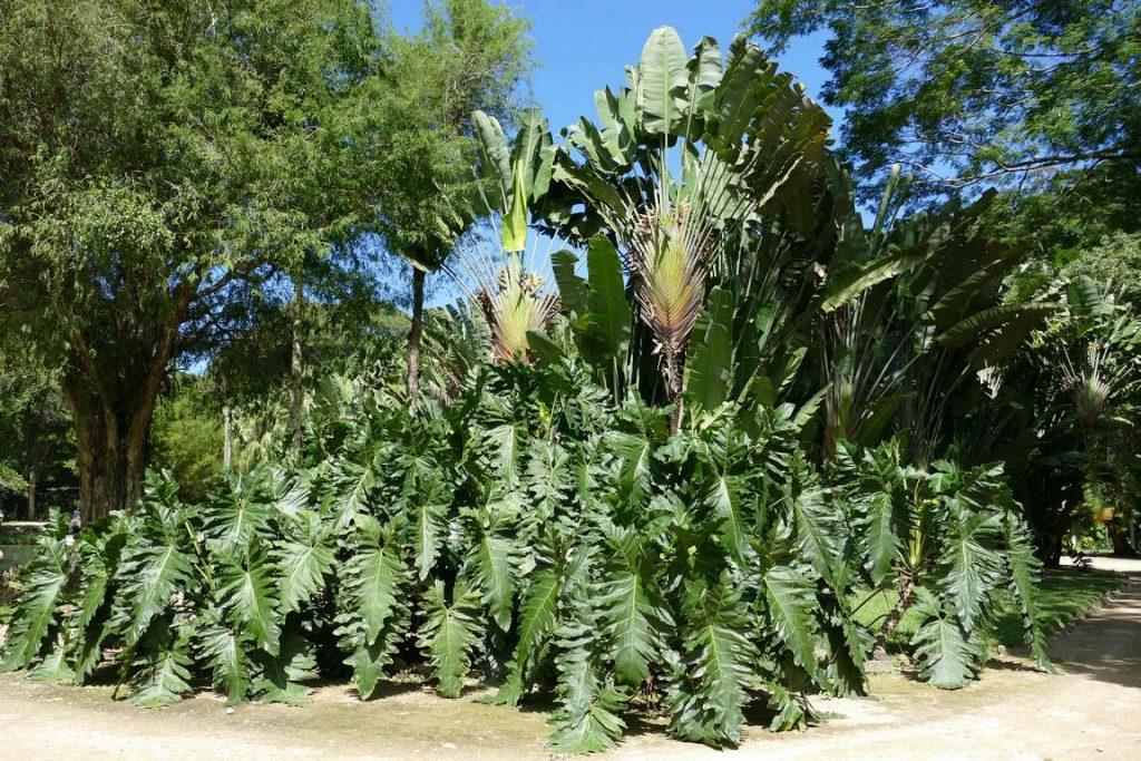 Brésil. Rio de Janeiro. Jardin botanique. Un philodendron undulatum s'étale au pied d'un arbre du voyageur..