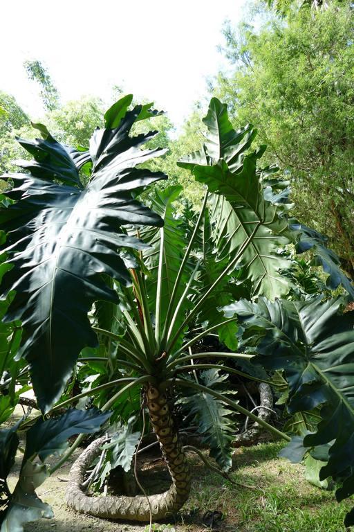 Brésil. Rio de Janeiro. Jardin botanique. Le Philodendron undulatum possède de grosses racines saillantes qui serpentent sur le sol.