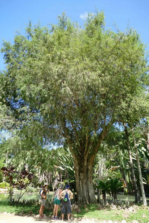 Brésil Rio de Janeiro. Jardin botanique. Les visiteurs sont surpris par les racines du Taxodium distichum.