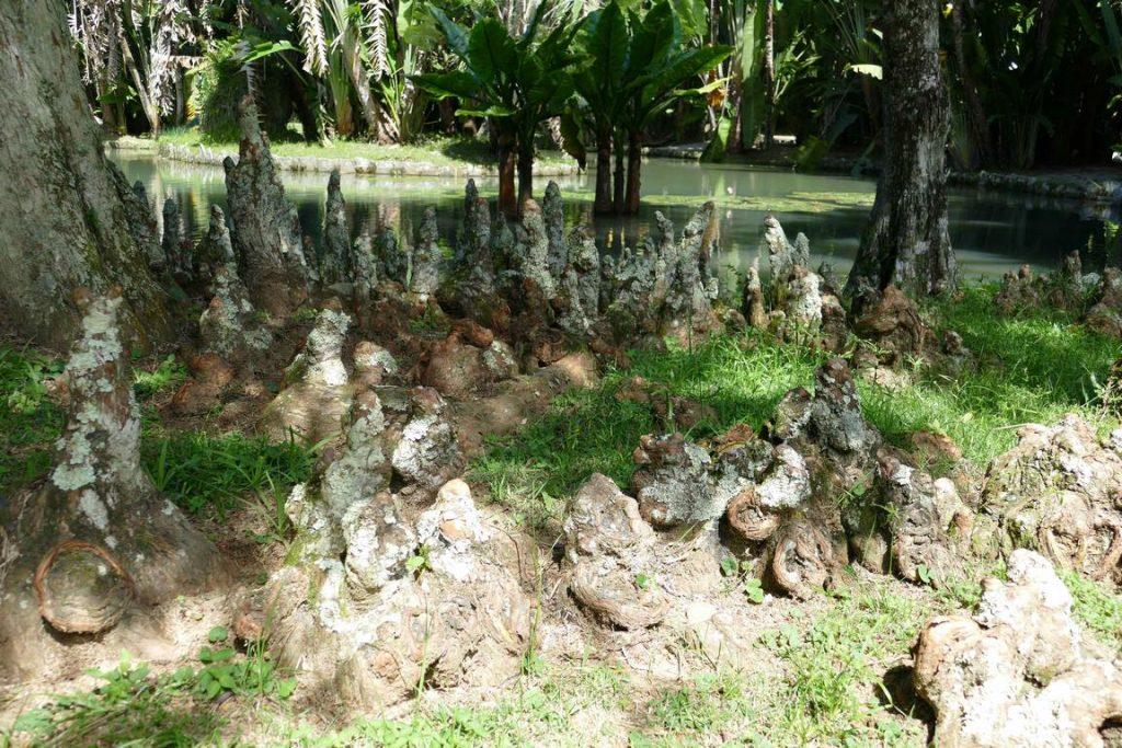Brésil. Rio de Janeiro. Les pneumatophores du Taxodium distichum encerclent le tronc de cet arbre qui apprécie les sols marécageux.
