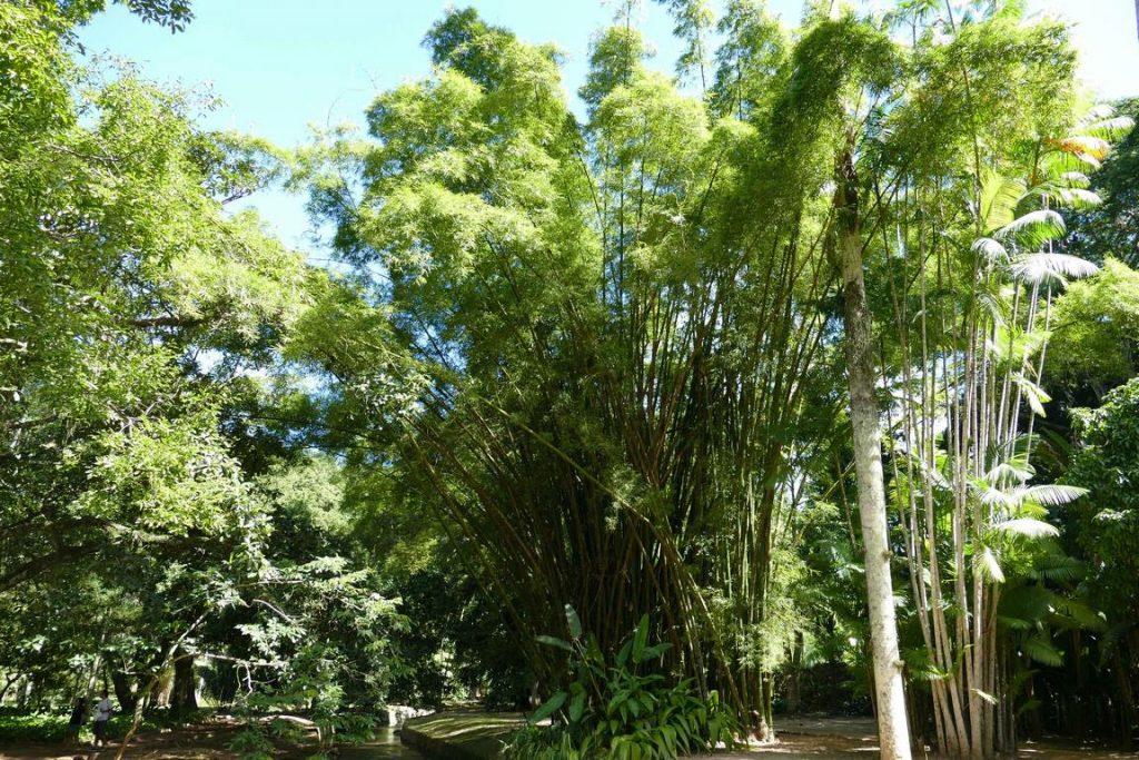 Brésil. Rio de Janeiro. Jardin botanique. Les cannes de bambou procurent une ombre bienfaisante. .