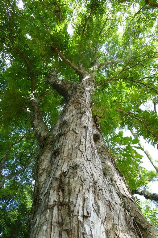 Brésil. Rio de Janeiro. Jardin botanique. L'andiroba peut frôler les 30 à 40 mètres de hauteur et a un tronc de 50 à 120 cm de diamètre couvert d'une écorce grise épaisse.