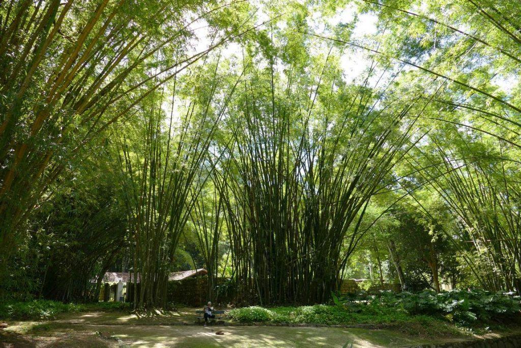Brésil. Rio de Janeiro. Bambouseraie du jardin botanique en bordure d'un petit cours d'eau.