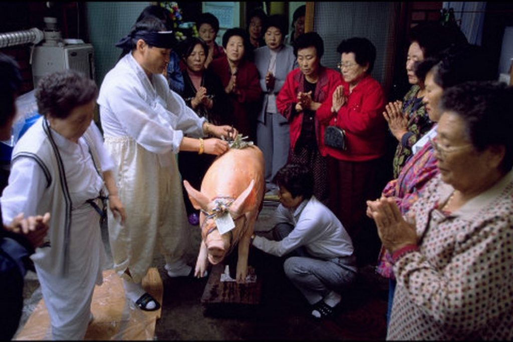 Corée du Sud. Rituel chamanique ou kut. Après l'épreuve de vérité, le cochon est salué par tous les participants.