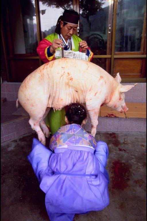 Corée du Sud. rituel chamanique ou kut. Epreuve de vérité dite du cochon.